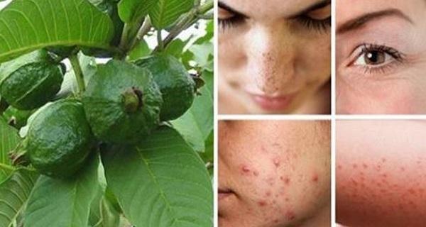 Utiliser les feuilles de goyave pour battre les rides l 39 acn les taches sombres et les - Feuille de goyave acheter ...